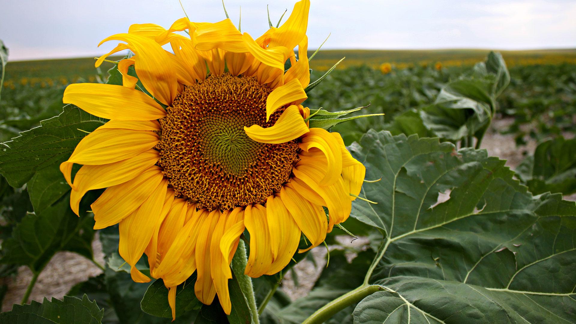 Quinn Sunflower