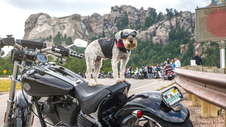 Sturgis dog on motorcycle