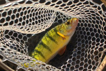 A yellow perch, a beautiful and delicious species of fish found in the Black Hills, sits in a rubber net ready to be kept or released